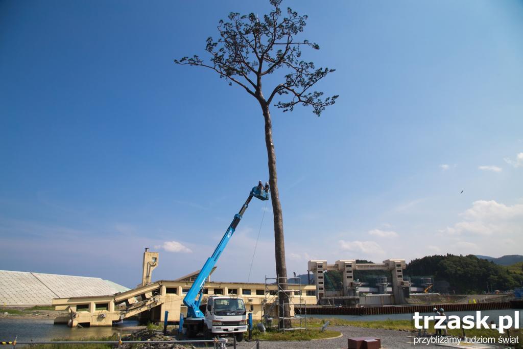 Sosna w miejscowości Rikuzentakata - przed tsunami rosło ich tu 70000 - przetrwała tylko ta jedna