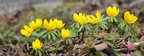 Zielone Porady, przedwiośnie, wiosna, siew, prace ogrodnicze, początek sezonu, kwitnący Ranik ziomowy