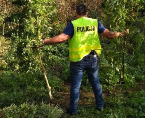 Uprawiali marihuanę w gminie Grybów. Narkotyki sprzedawali nieletnim