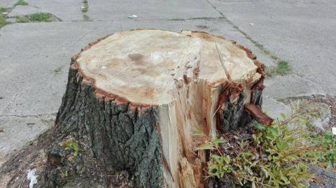 Wycięli drzewa przy Romanowskiego