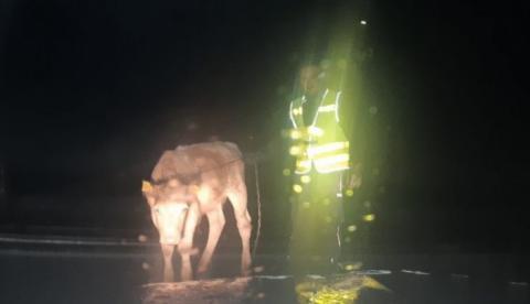 Policjanci łapali byczka po nocy
