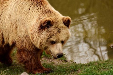 Niedźwiedź grasuje w naszych Beskidach