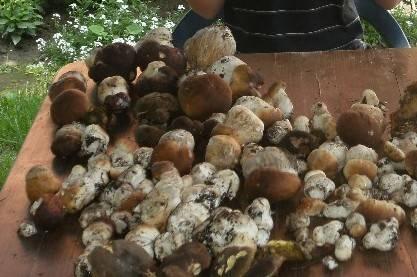 wysyp grzybów wokół Nowego Sącza