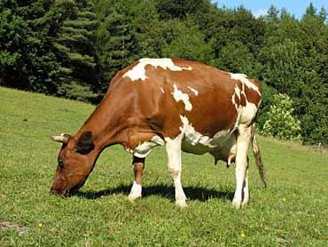 Porąbka: Co tam się stało? Poszkodowana kobieta i krowa