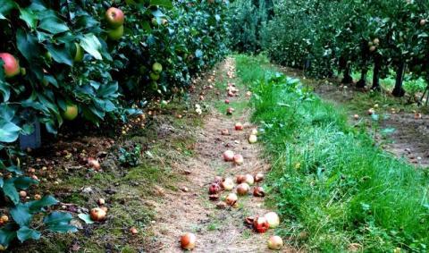 Czy grad puści z torbami sadowników w gminie Łącko?