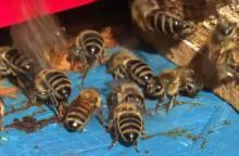 Szerszenie zaatakowały pszczółkę Maję