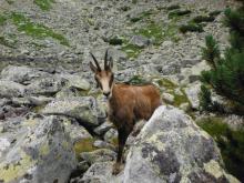 kozica w Tatrach Wysokich