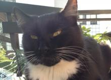 Kot z Krakowa zaginął w Nowym Sączu. Właścicielka tonie we łzach