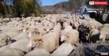 Rytro: gdzie te owce tak pędzą? [WIDEO]