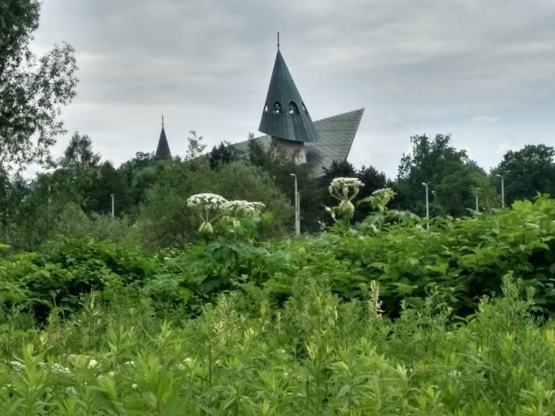 Demoniczna roślina, która zabija rośnie… w centrum Nowego Sącza