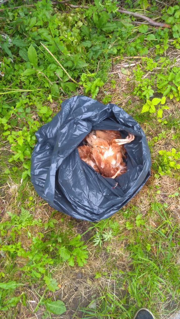 Wpadli na worek pełen martwych kur. Przykra przygoda w Długołęce-Świerkli