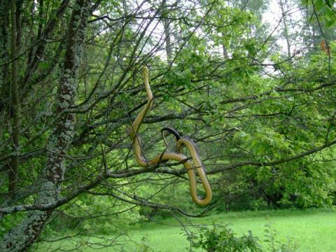 Wybieracie się w góry? Uważajcie na węże dusiciele znajdujące się na drzewach