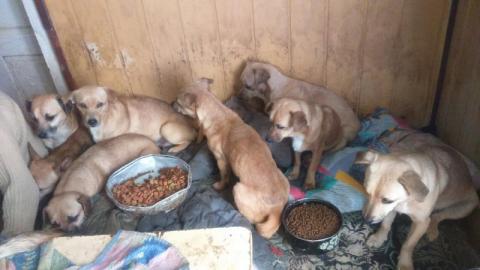 Trzymali 33 psy w jednym pokoju. Zwierzęta były głodzone [ZDJĘCIA]