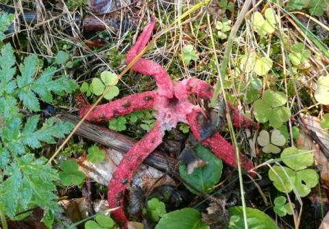 Rzadki okaz w sądeckich lasach. Uwierzycie, że to grzyb?