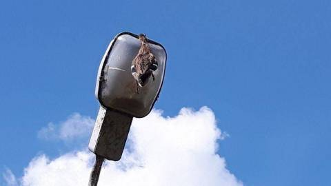 Kaczka wpadła na latarnię i utknęła