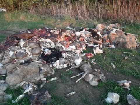 Makabryczne odkrycie! 2 tony wnętrzności zwierzęcych na drodze w Barcicach