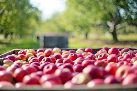 Ceny jabłek oszalały? Wszystkiemu winne są przymrozki