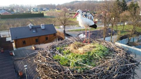 Piękne wideo! Osamotniony bociek czas żałoby przechodzi remontując gniazdo