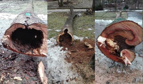 Krynica drzewa