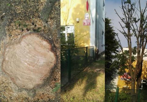 """Nowy Sącz: """"Masakrują"""" drzewa przy Barbackiego? Kogo chce chronić szkoła?"""