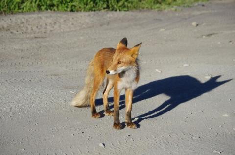 Agresywny lis zaatakował dziecko. Strażnicy miejscy schwytali dzikie zwierzę