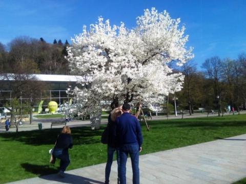 Magnolie w Krynicy-Zdroju