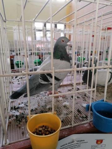 Kilkaset gołębi pocztowych w Korzennej. Jak to możliwe?