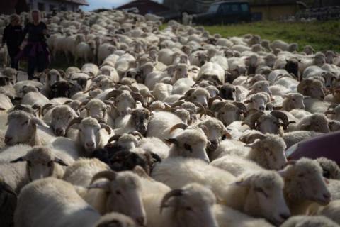 Jesienny redyk w Szczawnicy. Tysiące owiec przeszło przez miasto [ZDJĘCIA]