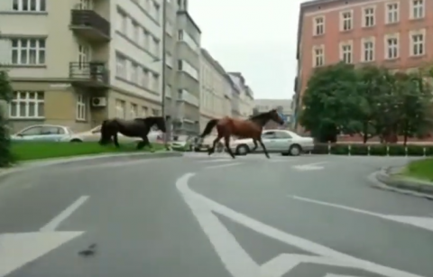 Dwa rumaki galopowały ulicami miasta. Mieszkańcy byli w szoku [WIDEO]