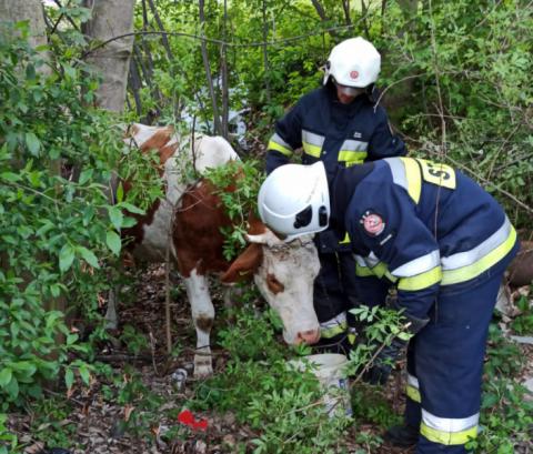 Posadowa Mogilska: Krowa utknęła w potoku. Pomogli jej strażacy