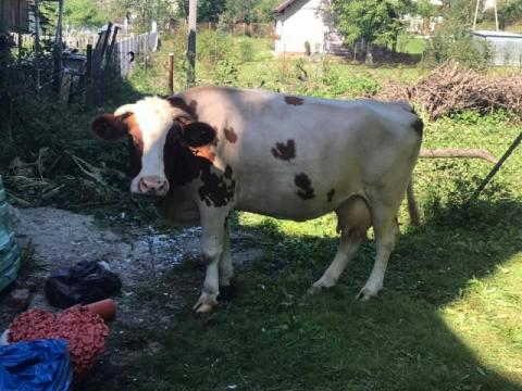 Przyszły krowy do Urzędu Gminy w Łabowej. Co chciały załatwić?