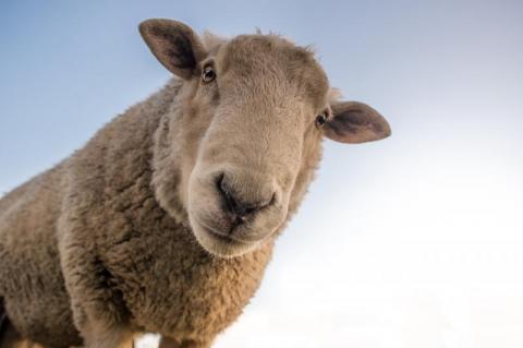 Wszystko przez ser Pecorino. Protest pasterzy paraliżuje włoską Sardynięv