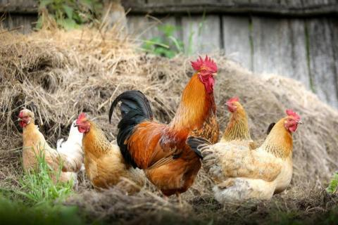 Wirus ptasiej grypy się rozprzestrzenia. Czy Nowy Sącz jest jeszcze bezpieczny?