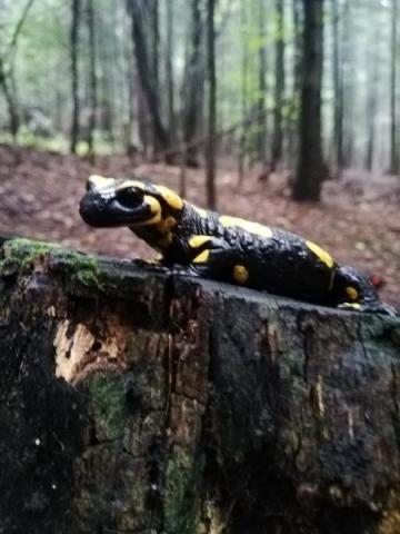 """Salamandra: piękna, delikatna. Ale """"żyjąca w ogniu"""" nosi na grzebiecie jad"""