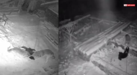 Uprzedzamy – na filmie załączonym do publikacji są wyjątkowo drastyczne sceny – wilki rozszarpują bezlitośnie psy, które gospodarze trzymali na łańcuchach.