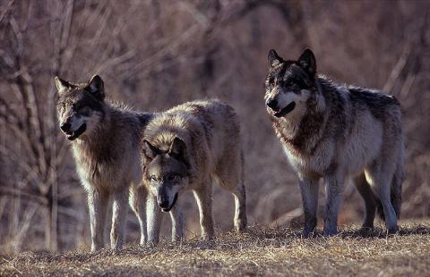 Gorlice: najpierw żmije, teraz watahy wilków