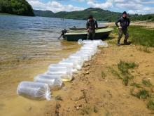 Wielkie zarybianie. 200 tysięcy sandaczy trafiło do Jeziora Rożnowskiego
