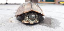 Nie zgubiliście przypadkiem żółwia? Ten osobnik prawie wpadł pod auto w Nowym Sączu