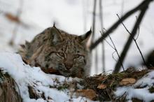 Kto jest królem naszych lasów? Wilk czy ryś? Zobaczcie magię z fotopułapek