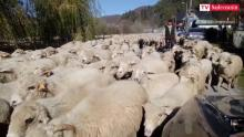 Przez Rytro pędzą co roku tysiące owiec! Zróbmy z tego redyk!