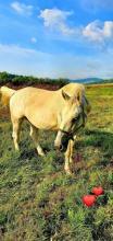 Skradziony koń, fot. Stadnina Klimkówka A.Woda