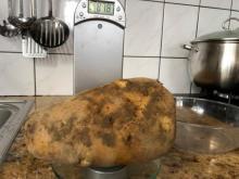 Ziemniak - gigant z Ptaszkowej, fot. Paweł Motyka