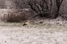Taka sytuacja: bocian szuka żab a tu wszędzie tylko śnieg [WIDEO]