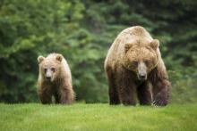 Niedźwiedzica z małym upodobała sobie Barcice! Uwaga na trasie rowerowej