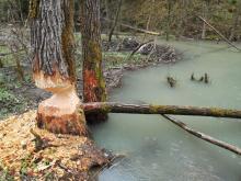 To się bobry rozbrykały! Budują nowy przystanek w Kosarzyskach?