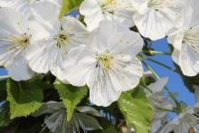 Święto Kwitnącej Jabłoni