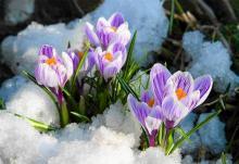 Krokusy już są to i wiosna niedaleko