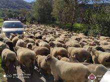 Jesienny redyk. Stado liczące setki owiec przeszło z Jazowska do Obidzy