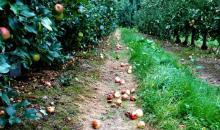 Katastrofa. Gradowe nawałnice mogą zrujnować sadowników w gminie Łącko