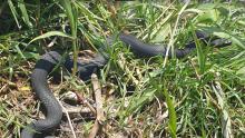 Żmija czarna nad Dunajcem